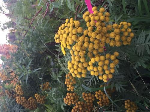 fall flowers islesford 2